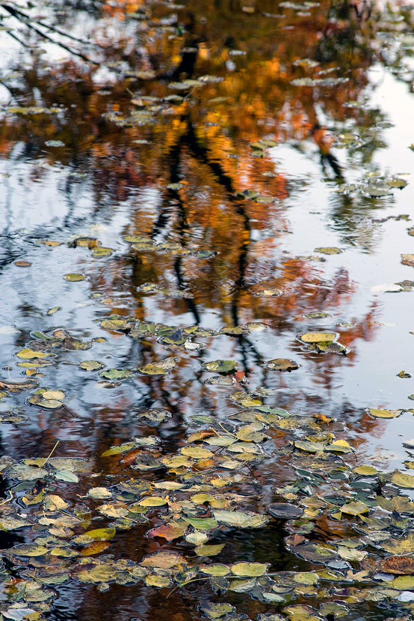 floating leaves and a reflection