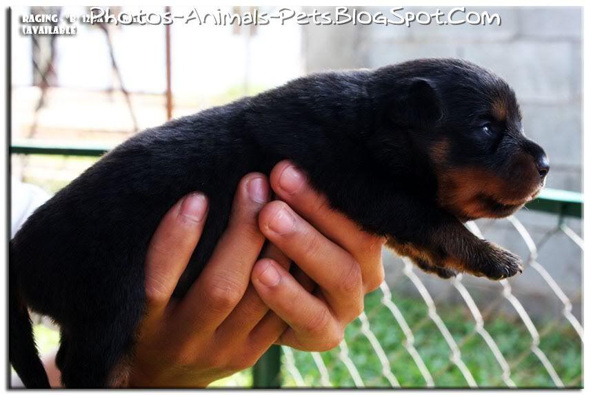 http://1.bp.blogspot.com/-sRigKtUSDWc/TbgA-2Gjz_I/AAAAAAAAA1o/w8VA2DFYLIU/s1600/Cute%2BRottweiler_0004.jpg