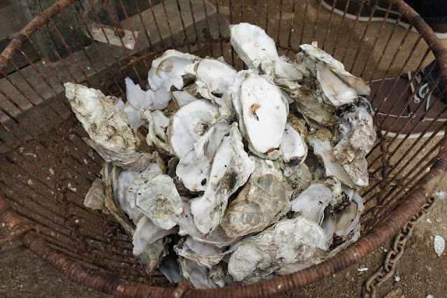Oyster shells at Hog Island Oyster Farm