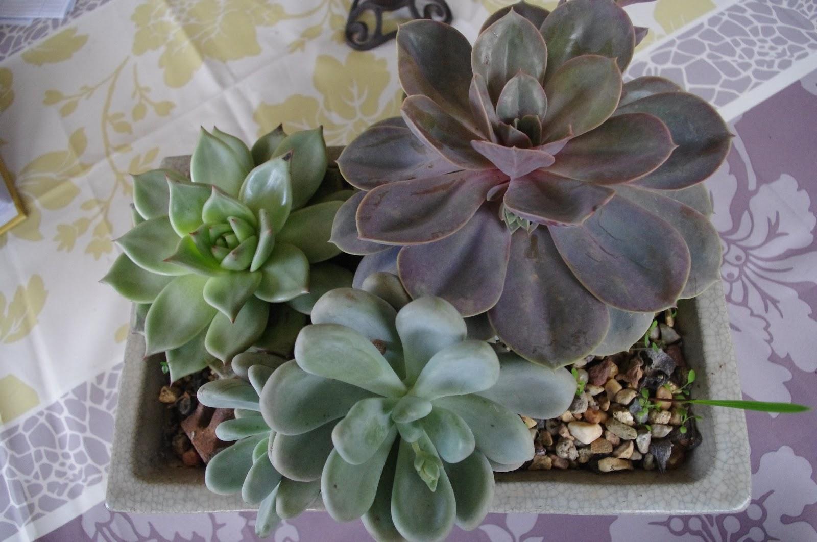le jardin des couronnes mes plantes succulentes. Black Bedroom Furniture Sets. Home Design Ideas
