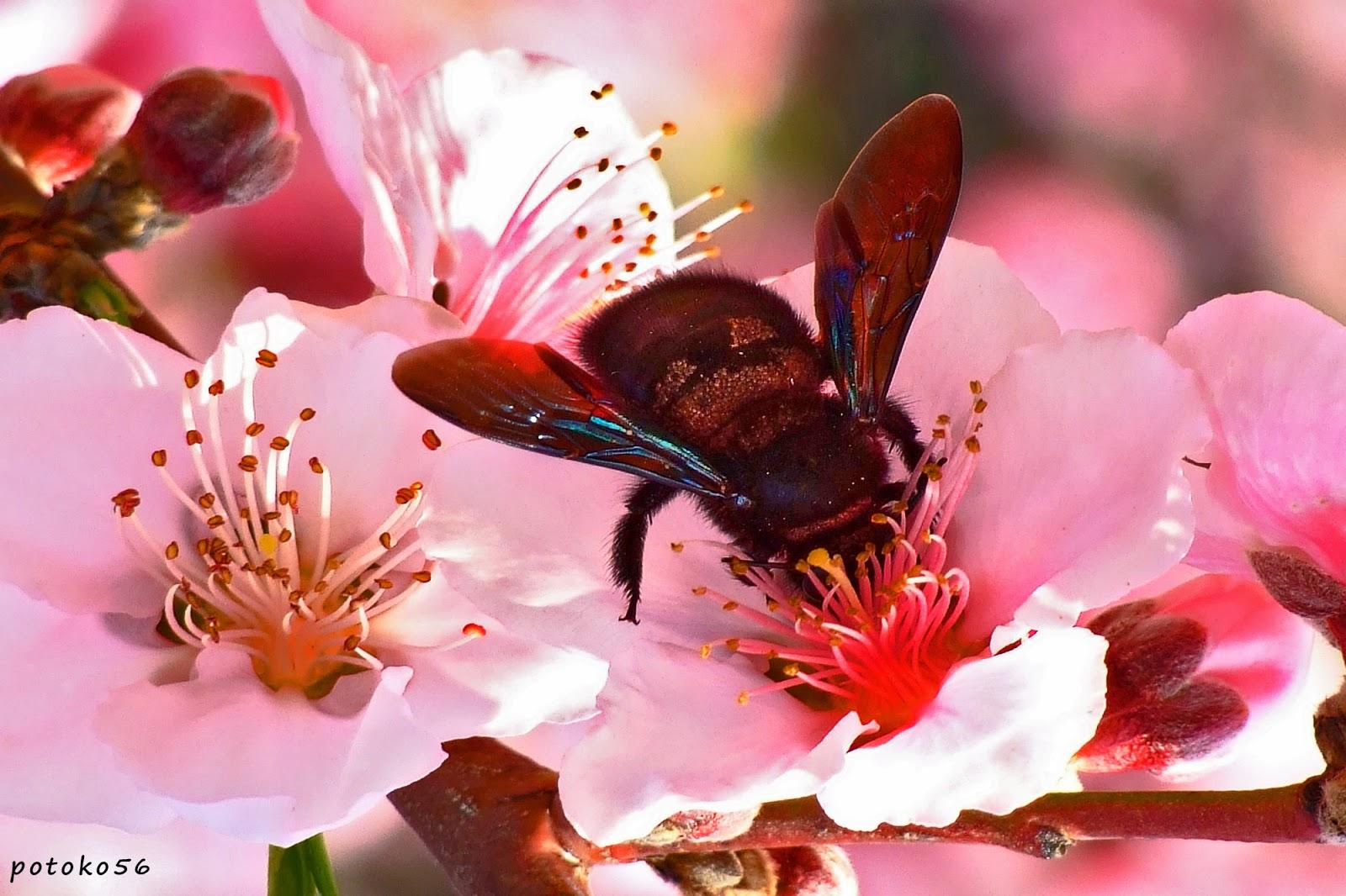 abejorro buscando en los pétalos de una flor Rota