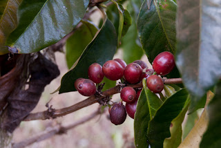 Laos - Bolovens Plateau, Coffee tree
