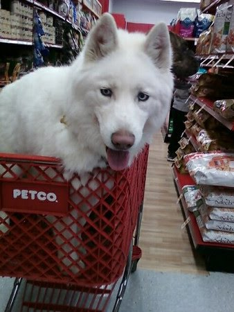 Anya the Siberian Husky