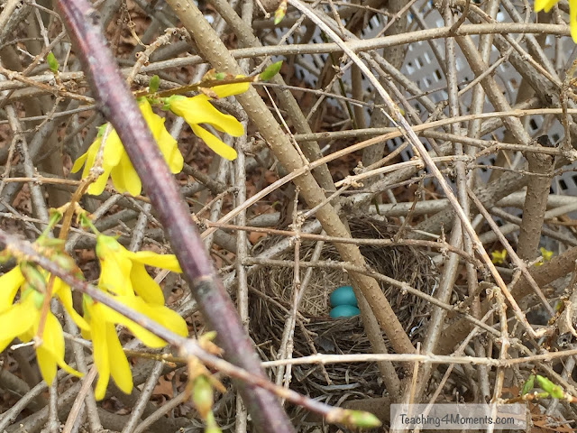 two blue robin eggs in nest in forsythia bush