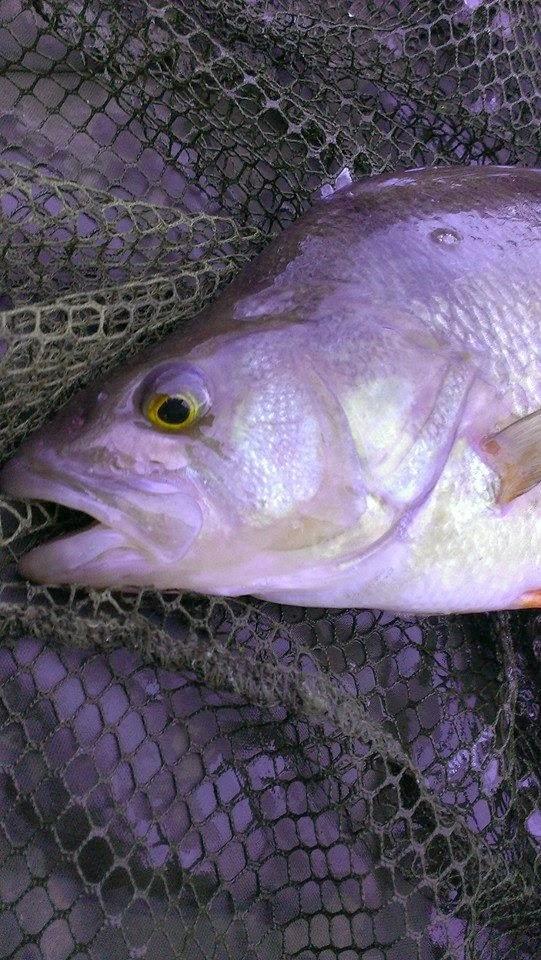 river perch fishing