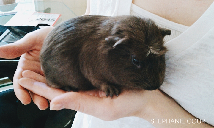 brown gray crested baby guinea pig