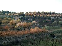 Ametllers florits entre les terrasses de pedra seca a la zona dels camps de Malla
