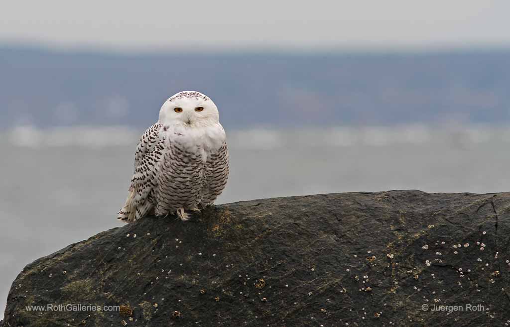 http://juergen-roth.artistwebsites.com/featured/white-snowy-owl-juergen-roth.html