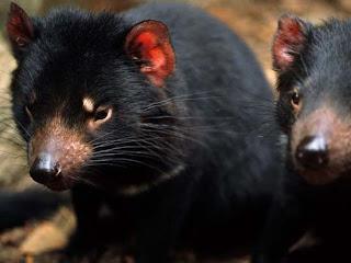 Foto Tasmanian Devils Lucu