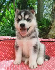 cachorro siberian husky negro