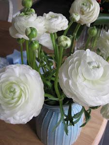heerlijke witte ranonkels