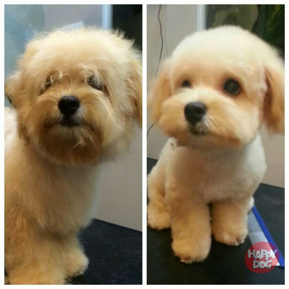 Maltipoo Haircut Styles Patient to have haircut.