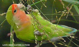 Pets Foods and Care - Which type of Foods Lovebirds Eat