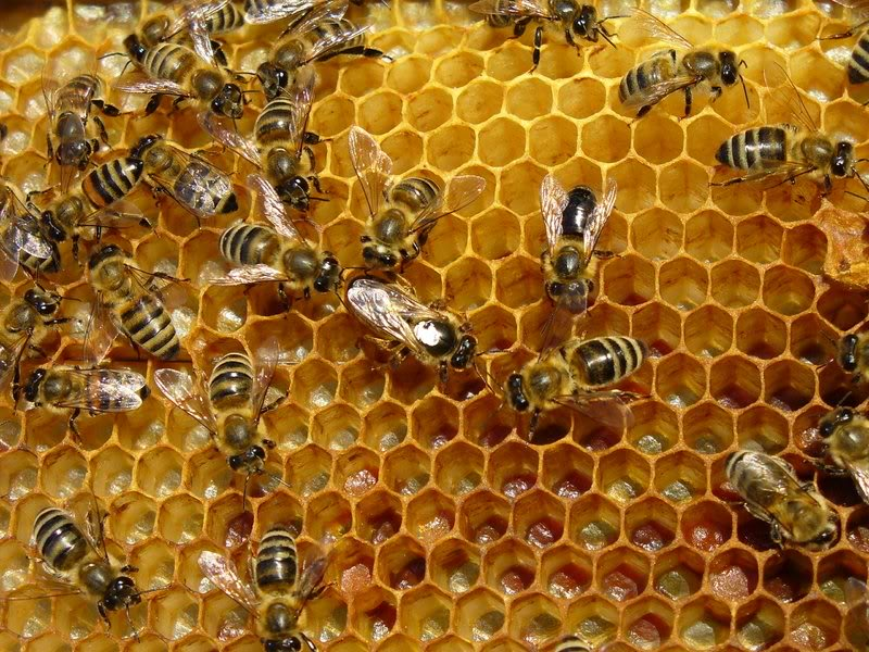 Bees Hive: QUOT...