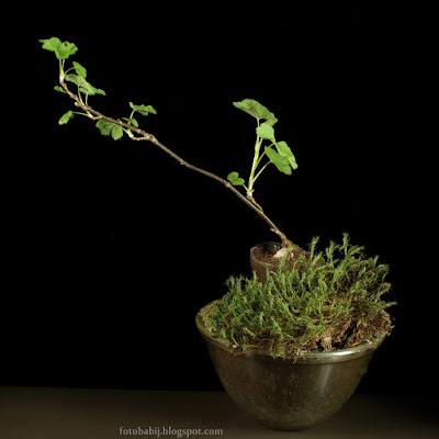 http://fotobabij.blogspot.com/2015/04/miniaturowy-ogrod-mchy-krzew-porzeczki.html
