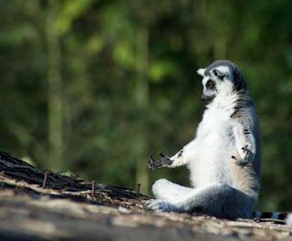 lemur meditando en el bosque