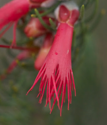 Silky-leaved Bloodflower (Calothamnus sanguineus)