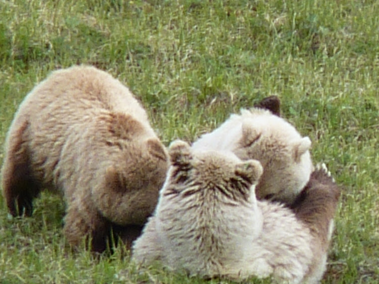Denali brown bears