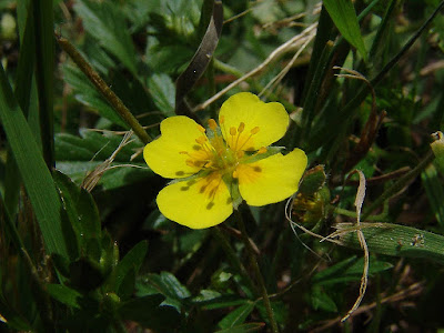 Tormentil (Potentilla Erecta) Overview, Health Benefits, Side effects