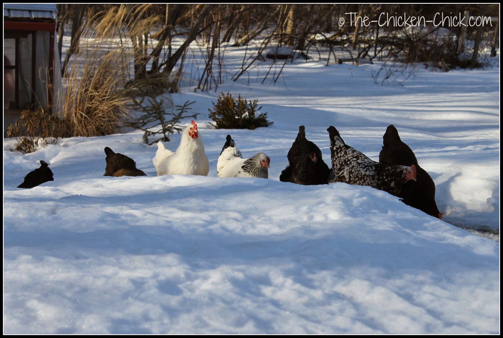 Chicken conga line.