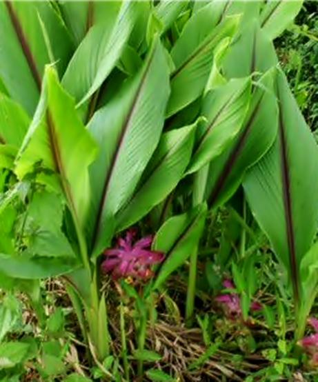 Kayu Aro Plant Enthusiast Khasiat Tanaman Curcuma Aeruginosa Temu Ireng
