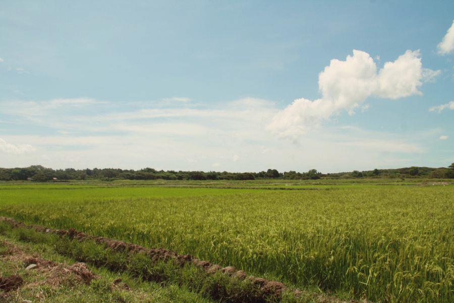 Coltivazioni di riso a Iwahig