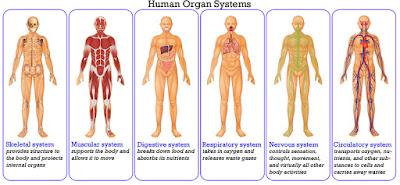 sistem organ manusia
