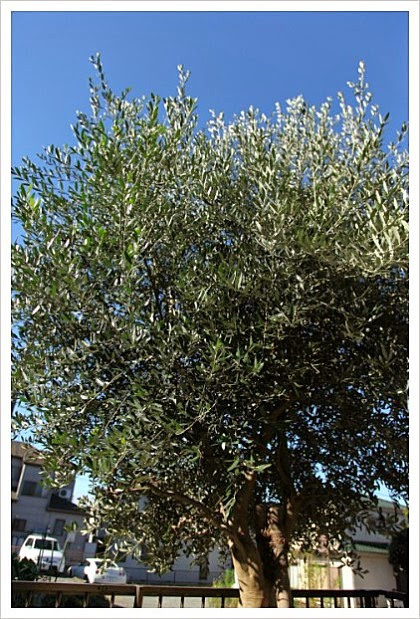Inspire Love And Peace Symbol Of Peace Olive Tree