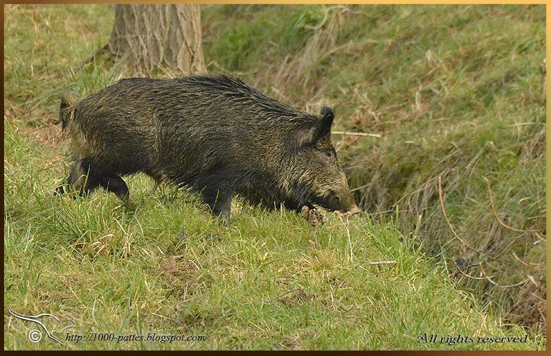 1000 pattes wildlife gateway sanglier reconna tre un - Comment cuisiner une cuisse de sanglier ...