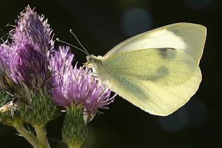 Para ampliar Pieris brassicae (Mariposa de la col) hacer clic