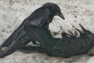 Foto Burung Gaok Terbaik