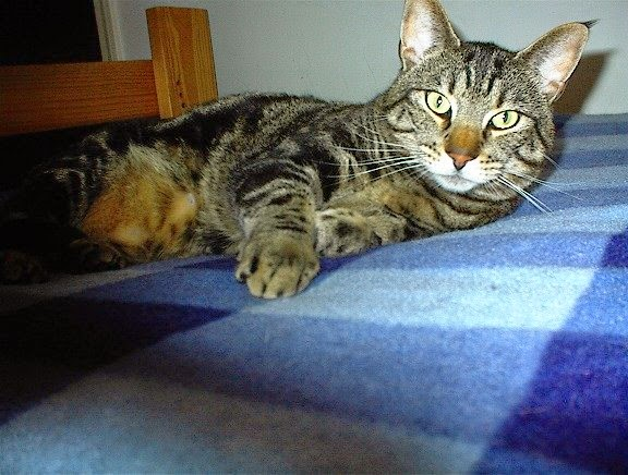 Malcolm Tabby Cat
