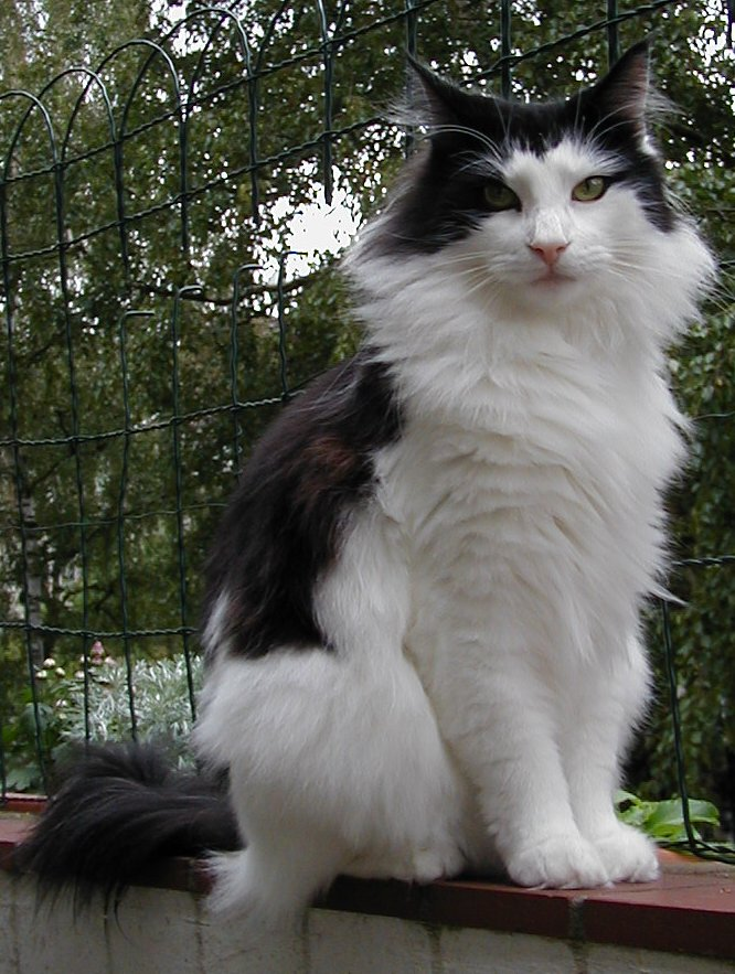 Spain - Page 4 Norwegian_forest_cat