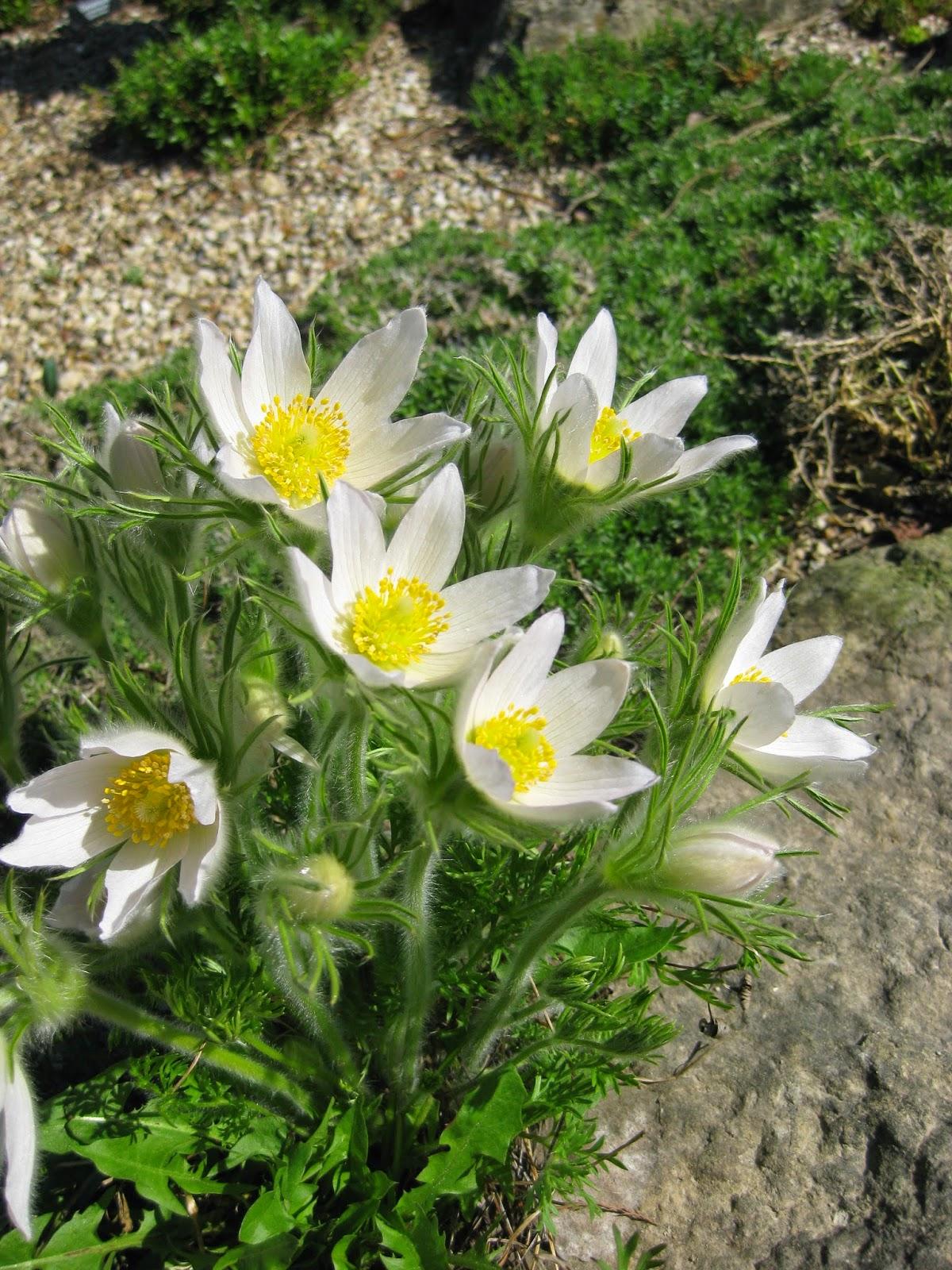 The Amazing Pasque Flower Rotary Botanical Gardens