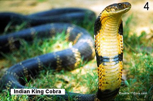 snakes philippine cobra
