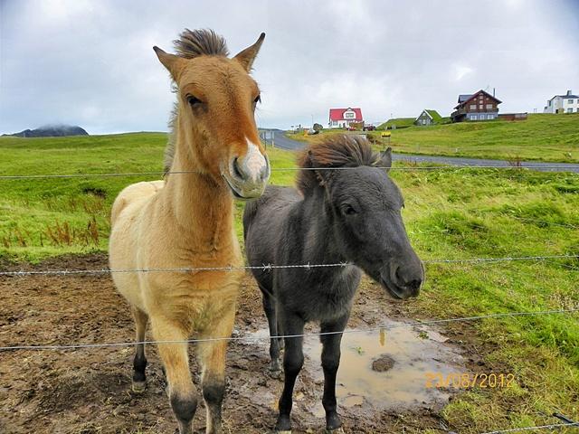 Caballos en Heimaey (Vestmannaeyjar)