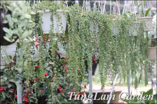bán hoa treo, cây treo, cây rủ, cây nội thất, lan tim, dây Valentin, môi son