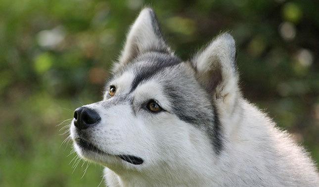 Jakson, Scara and Siomon the Huskies Siberian-Husky-1-645mk062811