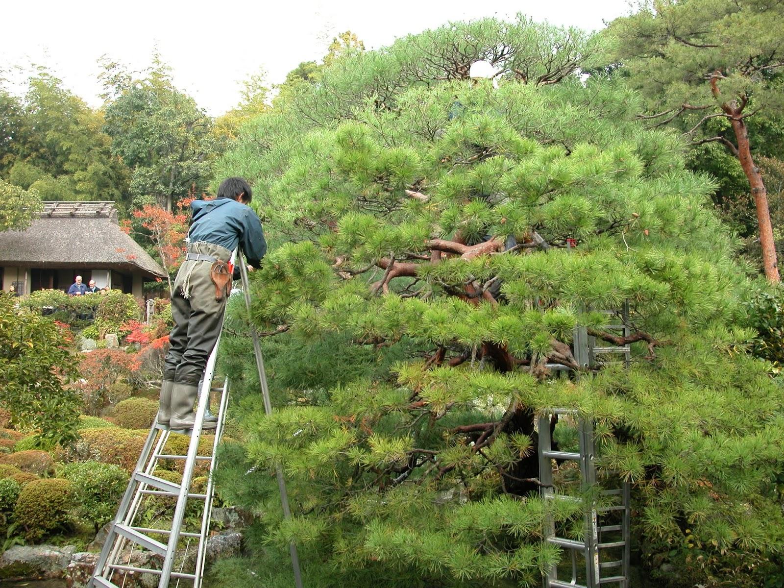 robert ketchell 39 s blog pines in the japanese garden. Black Bedroom Furniture Sets. Home Design Ideas