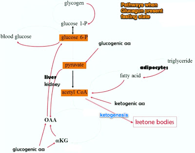 AcetylCoA levels rise It is converted to ketone bodies via ketogenesis