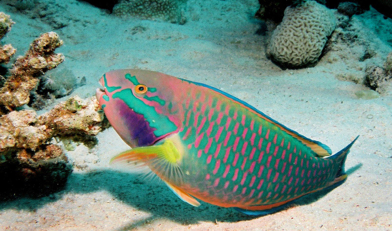 Sea savers dominican republic lionfish facts for Parrot fish facts