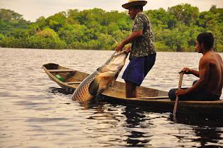 Pirarucu manejado será comercializado a preços populares na Sema