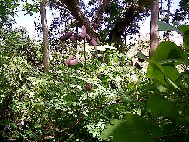Bentuk Pohon Dolong Khas Mandar