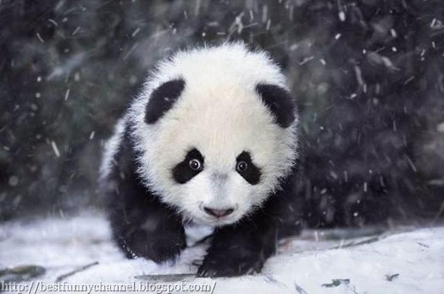 Panda ran.