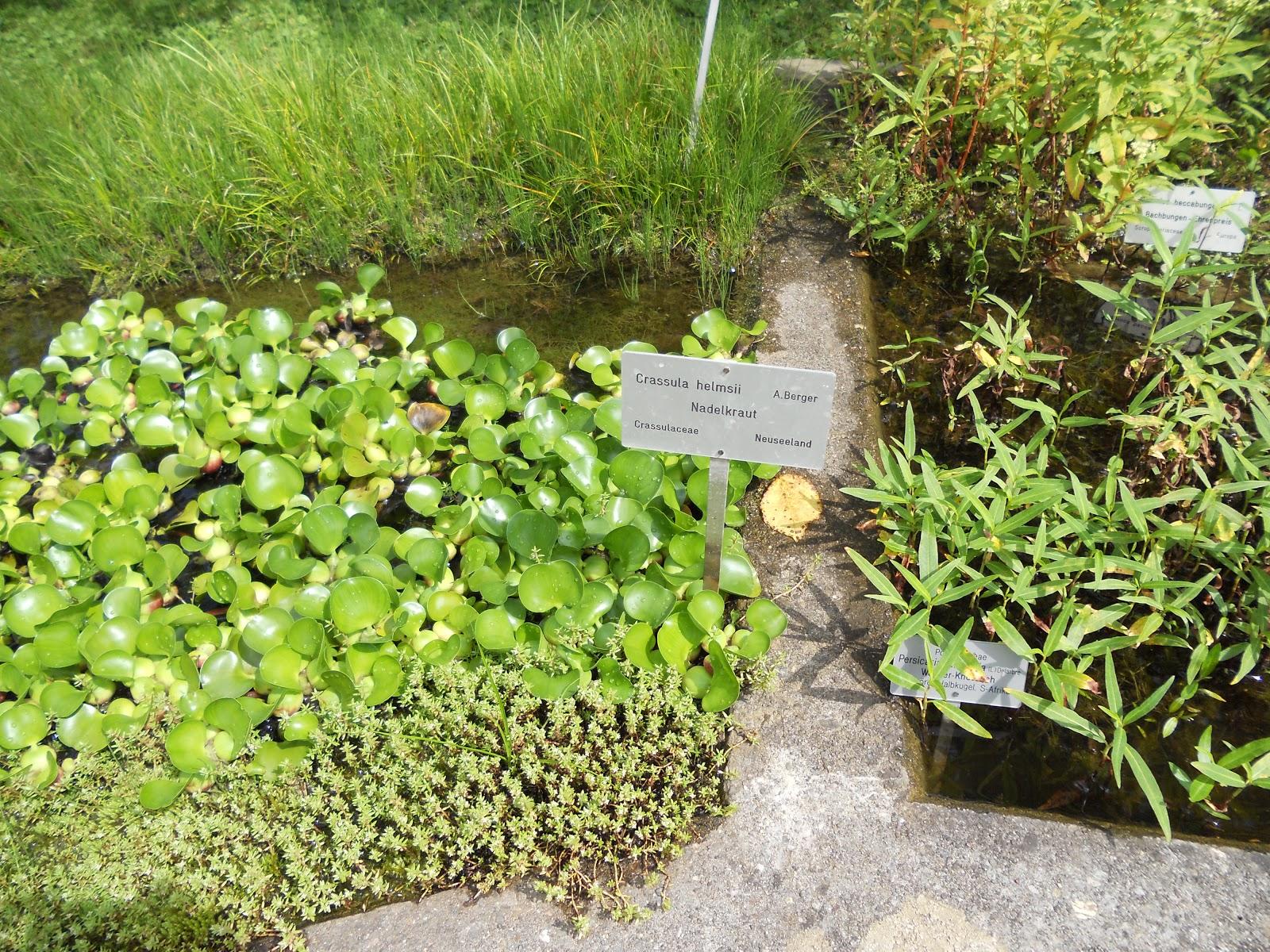 Jardineria eladio nonay plantas acu ticas sumergidas u - Jardineria eladio nonay ...