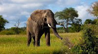 click here to download this wallpaper elephant
