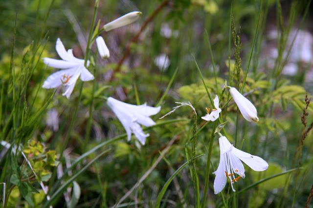 Weiße Trichterlilie Valle Maira Ligurische Alpen