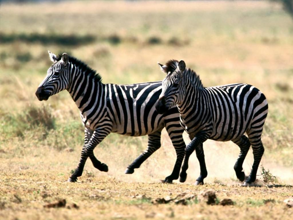 http://1.bp.blogspot.com/-sZVAIIJBiBM/Tz-AjxanEZI/AAAAAAAAMFg/PxxwaA2h17E/s1600/Zebra+10.jpg