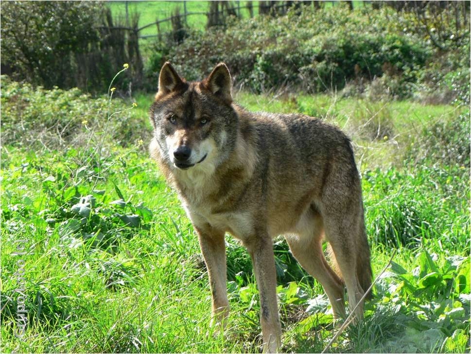 Image Result For A Wolf S