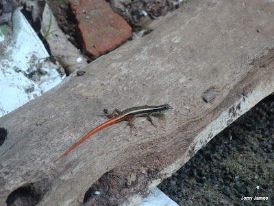 Red Tailed Lizard, Aranna